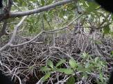 "The legend among mangrovelers is that the record for the 100 yd (or 100 m) dash through a [Rhizophora] mangrove is 22'30""."